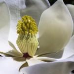 stockphoto_magnolia
